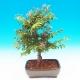 grewia_bonsai.jpg
