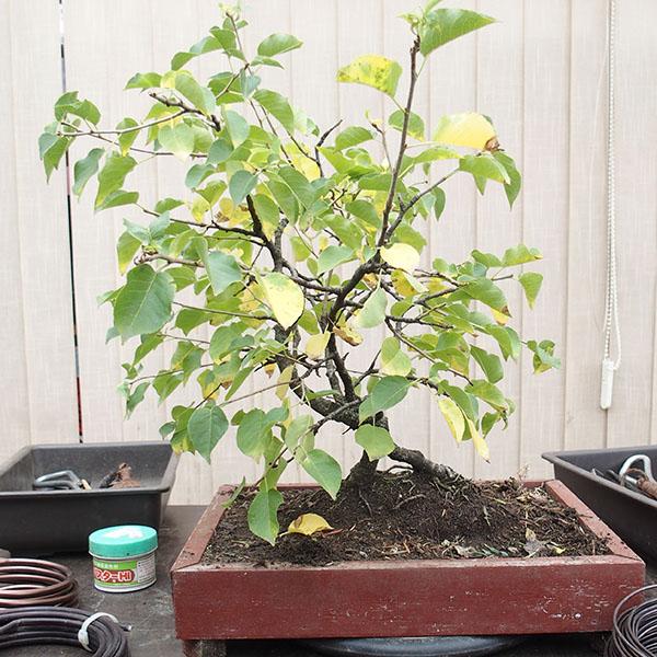 bonsaicentrum lib any report z pravideln ho sobotn ho bonsai semin e. Black Bedroom Furniture Sets. Home Design Ideas
