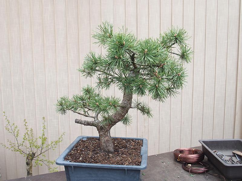 bonsaicentrum lib any dubnov pravideln bonsai semin. Black Bedroom Furniture Sets. Home Design Ideas